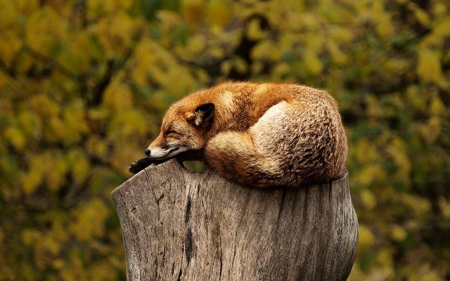 fox 1284512 640